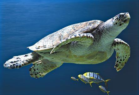 Journée mondiale des océans : à la rescousse des tortues de mer
